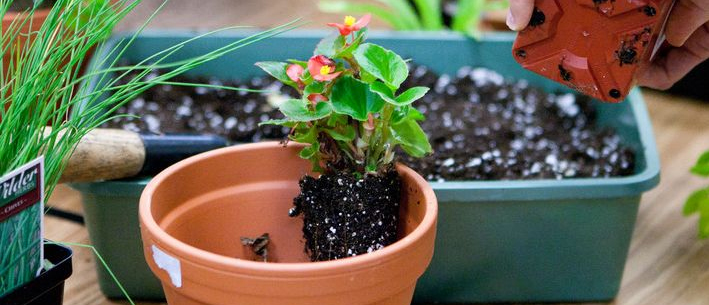 potting a small plant in a clay pot
